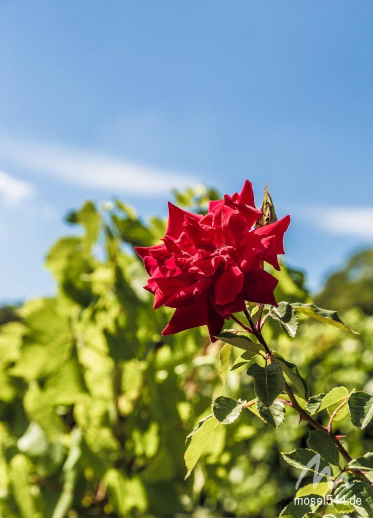 Rose Moselsteig 3
