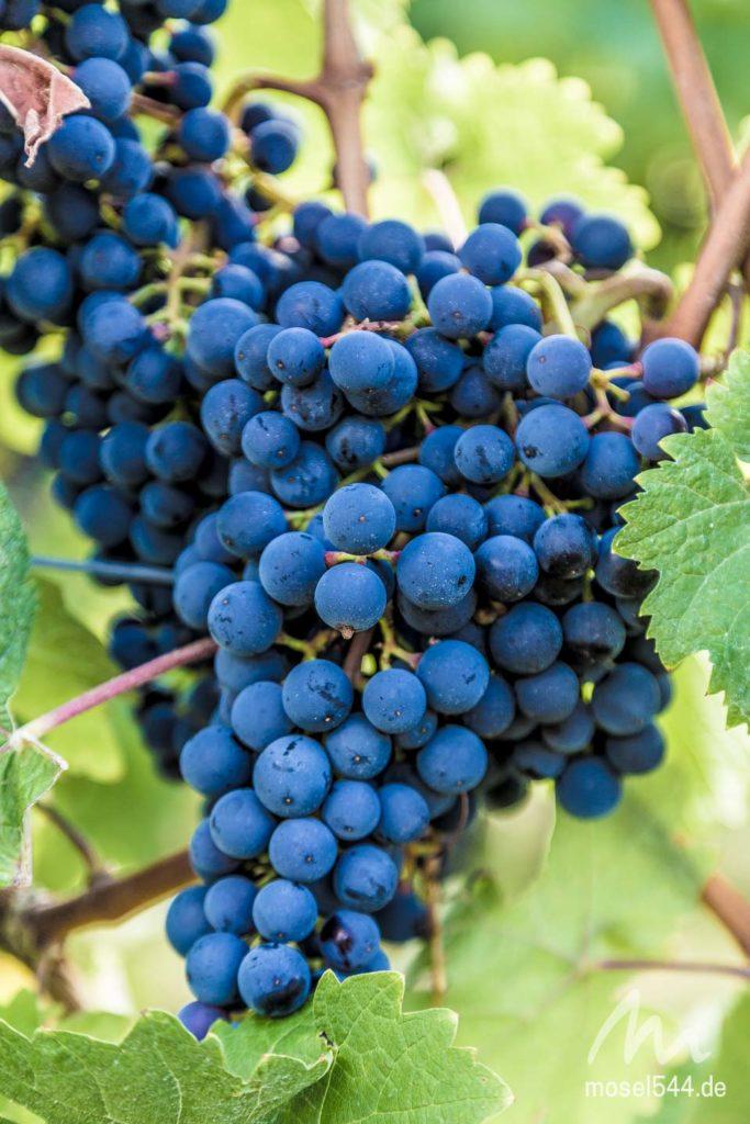 Weintrauben Moselsteig 3
